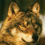 SIENA: Gregge decimato dai lupi. L'allevatore offre una taglia di 1000 euro a chi gli consegnerà un lupo vivo o morto