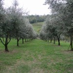 PONTASSIEVE: Dove gli olivi…si affittano