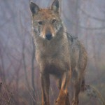 NATURA: Catturato, controllato e liberato nel Parco delle Foreste Casentinesi un bellissimo esemplare di lupo
