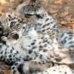"""""""Diamo un nome al cucciolo di leopardo"""", votano in migliaia. Si chiamerà """"Sic"""", in onore di Marco Simoncelli"""