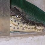 ROMA: Lo cercano per spaccio di droga e gli trovano…un caimano