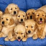 TRIESTE: Mega sequestro di cuccioli di cani di razze di pregio, importati illegalmente dall'Ungheria