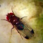 RICERCHE: Respinti sessualmente…si danno all'alcool. Anche i moscerini bevono per dimenticare?