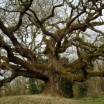 PINOCCHIO: La quercia di Collodi, a Capannori, riconosciuta ufficialmente come monumento