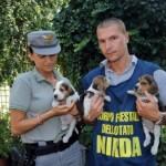 BRESCIA: Cominciate le operazioni di affidamento dei beagle sequestrati a Green Hill