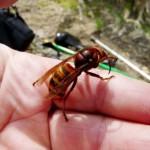 FIRENZE: Giardiniere punto da un calabrone rischia la vita. Ma oggi, fortunatamente, si può vaccinarsi. Come fare