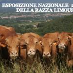 FAM 2014: Borgo San Lorenzo dal 5 all'8 giugno capitale della razza Limousine