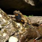 """Parco foreste casentinesi   Capofila del Life """"WetFlyAnphibia un progetto di tutela di anfibi e farfalle"""