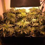 Empoli – Sequestrata una piantagione Marijuana