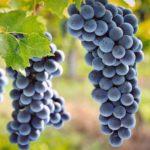 Rubrica di cucina – La schiacciata con l'uva