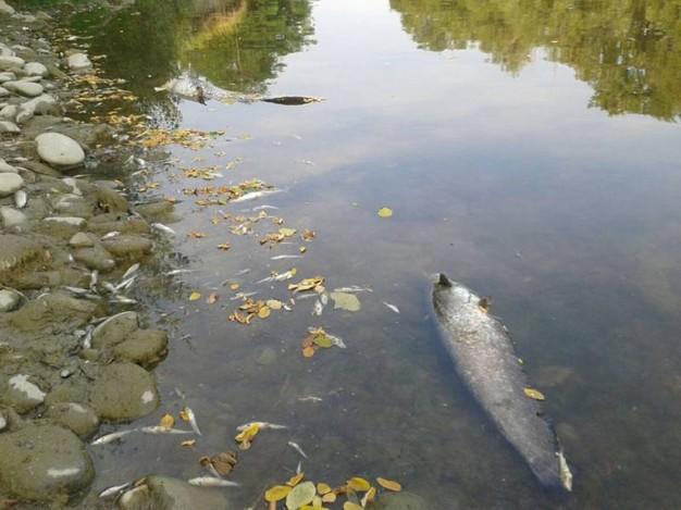 Nel fiume reno mor a di pesci come bilancino forse per for Pesci di fiume