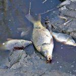 Barberino – Un virus la causa della moria di pesci gatto a Bilancino
